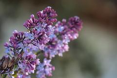 Wenn der Flieder wieder blüht... (jennichristine801) Tags: wenn der flieder wieder blüht lila violet purple little snow it