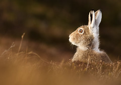Sun Kissed (beverleythain) Tags: mountain hare scotland highlands cairngorms wildlife nature animal snow seasons camouflage
