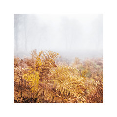 Studies in Bracken iii (Vemsteroo) Tags: bolehill bracken surpriseview mist fog peakdistrict peaks morning sunrise ethereal atmospheric fujifilm xt2 50140mm nature foliage square simple soft orange autumn warm misty foggy outdoors exploring woodland forest trees