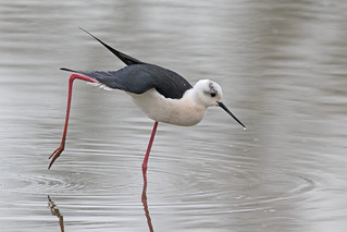 Black Winged Stilt  M