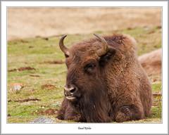 Bison; Highland Wildlife Park (flatfoot471) Tags: 2016 animal bison highlandislands highlandwildlifepark highlandsislands holiday kincraig nature normal scotland spring unitedkingdom gbr