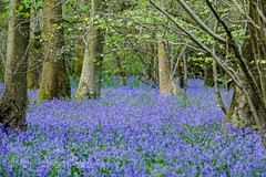 Bluebell Wood (Hyacinthoides non-scripta) (shaftina©tion) Tags: formerlyendymionnonscriptusorscillanonscripta blue bluebell bluebells endymionnonscriptus flower hyacinthoidesnonscripta purple scillanonscripta surrey blubell bulbous commonbluebell perennial shaftinactioncom sweetscented trees violetblue wood wooded woodland