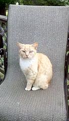 Nubs (CapCase) Tags: cat feline nubs