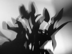 Tiwlipau (Rhisiart Hincks) Tags: bw blackandwhite blancoynegro zuribeltz dubhagusbán dubhagusgeal blancetnoir gwennhadu duagwyn tulips tulipez tiwlips tiwlipau shadows flowers scáthanna bláthanna ombres fleurs faileasan dìthean itzalak loreak skeudoù bleunioù cysgodion blodau