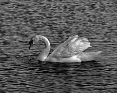 Mute Swan (rimmoss) Tags: sonydschx100v sony sonyhx100v southjersey swan blackandwhite bw bird dividingcreek nature nj wildlife noir blanc blancoynegro