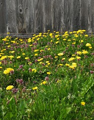 The Dandelions and the old fence... (Beeke...) Tags: medow springtime yellow dandelions wildflowers weeds springh happy sunshine fence ols village rural