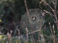 Dewy web - Spring morning (Tony McLean) Tags: ©2017tonymclean tophilllow eastyorkshire naturephotography nikond4 nikon500f4gvr cobweb