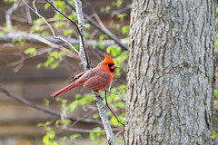 Northern Cardinal (rebecca.rocha) Tags: northern cardinal high iso telephoto bird wildlife sony a6000 sal70300g laea4