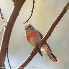 Robin (Australia's Wildlife) Tags: animal bird fauna robin scarletrobin