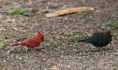 Male Northern Cardinal and Brown-headed Cowbird (Quistian) Tags: cardinal cowbird