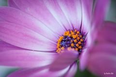 Morning Glory (Q-BEE) Tags: flowers flower macro spring blumen blume makro