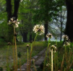 Path dandelions /Explored # 34 / (Sappho et amicae) Tags: plants nature path dandelions eljkagavrilovi