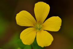Yellow wood sorrel (holdit.) Tags: weed tiny wildflower oxalis yellowwoodsorrel oxalidaceae oxaliseuropaea