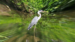 Grey Heron at the stream( ) (Johnnie Shene Photography(Thanks, 1Million+ Views)) Tags: grey gray heron herons bird birds birding animal animals wild wildlife living organism outdoor outdoors colour image images photography horizontal brook standing resting stand rest canon eos 600d rebel t3i kiss x5 sigma apo 70300 70300mm f456 456 dg macro zoom lens    nature goyang south korea distorted predator heronfamily aves ardea