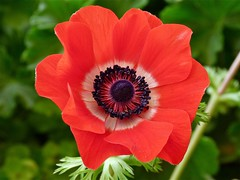 Harmony Scarlet Anemone (Catcher In My Eye) Tags: flowers color floral petals blossoms anemone ananemoneharmonyscarlet