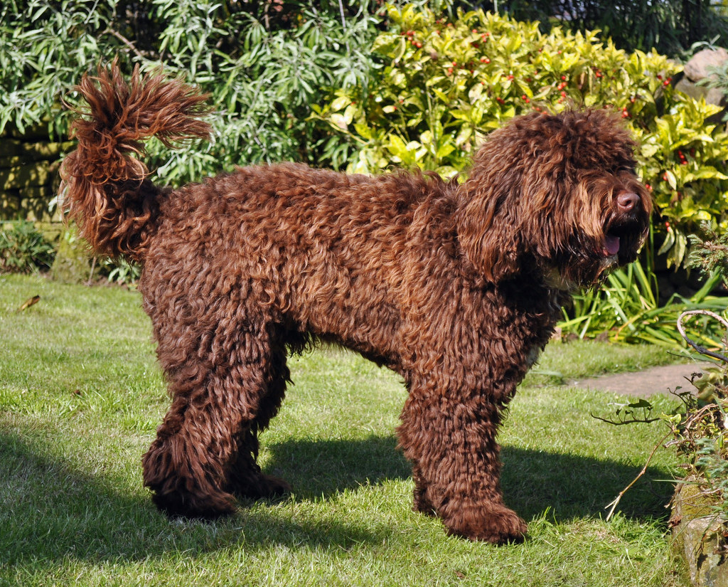 List of Synonyms and Antonyms of the Word: springerdoodle dogs