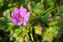 Geranio purpureo _ Geranium purpureum (Felix_65) Tags: flowers nature purple sony cybershot natura fiori viola prato dsch3