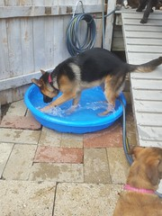 Gunner H loves the pool! (happy_hounds) Tags: dogdaycare dog daycare puppy pups boarding cagefree dogsofflickr purebred rescuedog happyhounds plymouthmichigan happyhoundsdogdaycare