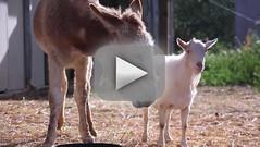 Goat Reunites with Donkey, Loves Life Again: VIDEO (netfinder) Tags: life video donkey goat again loves reunites