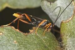 Beautiful uncooperative wasp (zosterops) Tags: macro australia tasmania hobart ringflash hymenoptera insecta ichneumonidae kenkoextensiontubes cryptinae knockloftyreserve canonmr14ex canonmacrolensef100mm canoneos550d