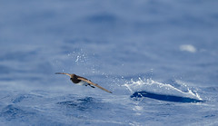 White-bellied Storm-Petrel (Tobias Hayashi Photography) Tags: bird australia nsw seabird lordhoweisland lhi ballspyramid procellarid fregattagrallaria