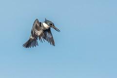050814-2320025.jpg (jim sonia) Tags: usa bird birds massachusetts places kingfisher salisbury pick