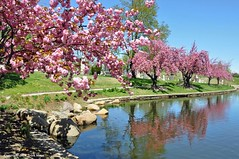 Cherry Blossom Time (Trish Mayo) Tags: pink reflection water spring greenwood cherryblossoms cherrytrees cemtery thebestofday gnneniyisi