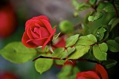 The Rose - DSC_3819 (George C. Benson, Jr.) Tags: roses newjersey nikon redroses fineartphotography naturephotography macrophotography sigmalenses nikond700 sigmamacrolenses aperture3 iamnikon georgecbensonjr sigma105mmf28exdgoshsmmacro