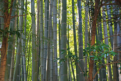 Bamboo Forest (Lark Ascending) Tags: wood light green japan forest bamboo nippon dappled nihon glade