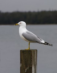 Seagull On A Perch (ozanichm) Tags: nature birds animal michigan upper peninsula yooper sesagull