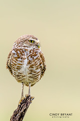 Burrowing Owl (Flickrtographer) Tags: wild bird nature birds pose florida wildlife profile beak feathers owl betterbeamer owls birdsofprey smallbirds burrowingowl plumage burrow matingseason photoshopactions wildlifephotography floridabirds lakecountyfl cindybryant nikon500mmf4 nikond7000 photocontesttnc11 birdstnc11 nikonsb700flash cindybryantphotography photocontesttnc12 photoofthedaynwf12 cindyjbryant photocontesttnc13