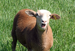 #462 Tw (baalands) Tags: hair spring sheep pasture lamb katahdin ewe