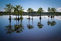 Cypress reflections (Ed Rosack) Tags: christmas sky usa cloud lake reflection tree water landscape orlando florida cloudy clear cypress centralflorida orlandowetlandspark edrosack