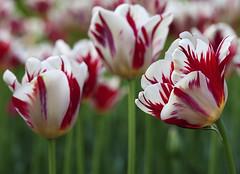 _MG_2299 (Mary Susan Smith) Tags: flowers spring tulips ottawa depthoffield superhero tulipfestival shallowdof dowslake gamewinner challengeyouwinner cychallengewinner thechallengefactory tcfwinner herowinner pregamewinner