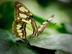 Butterfly (Kepa_photo) Tags: butterfly o basquecountry olympuse3 kepaargazkiak pimpilinpauxa ximeleta