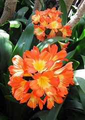 Clivia by My Lovely Wife (Puzzler4879) Tags: flowers gardens powershot pointandshoot botanicalgardens longwoodgardens publicgardens canonpowershot clivia orangeflowers canonphotography canonpointandshoot a580 canona580 canonpowershota580 powershota580
