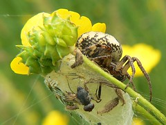 spider buttercup (roy457) Tags: macro nature roy insect spider buttercup kostyszyn