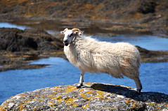 uibhist a deas (plot19) Tags: uk blue sea animal rock fur island scotland britain horns western lamb outer isle isles hebrides plot19