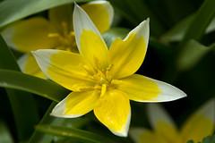 IMG_4743 (laurin.gutwin) Tags: natur pflanze gelb grn blume makro blatt landschaft garten baum nahaufnahme bltenstaub