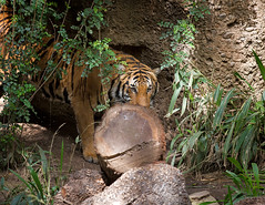 Connor_T6C4666 (day1953) Tags: animals canon zoo wildlife tiger connor mallard endangered sandiegozoo bigcats malayantiger canoneos5dmarkiii ef70200mmf28lisiiusm day1953