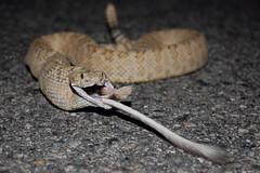 Kangaroo Rat in a Great Basin Rattlesnake (Crotalus oreganus lutosus) (Gavin Beck (SnakeBuddies)) Tags: life nature canon utah desert rattlesnake herp herps insitu snakeeating fieldherping herping