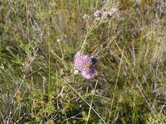 Kunzea capitata 1 (barryaceae) Tags: park new plants wales bay south australia national heath species crowdy heathplants australianheathplants aushp