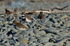 Banded Dotterel - Tuturiwhatu (flyingkiwigirl) Tags: new river zealand otago endemic plover banded waitaki dotterel tuturiwhatu