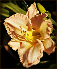 peach-mango daylily (MissyPenny) Tags: summer flower garden daylily buckscounty southeasternpa bristolpennsylvania pdlaich missypenny