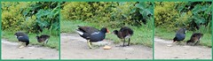 The Cake Incident (farmspeedracer) Tags: park summer lake green bird chicken nature animal cake germany fun duck pond seagull duckling swamp moorhen quarrel