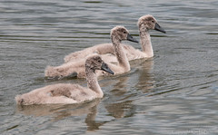 Cygnets all in a line (kimbenson45) Tags: summer nature water birds animals swimming grey spring gray young swans ripples rippled cygnets