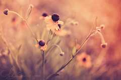 Dawning (AlyKPhoto) Tags: morning wild sun flower green nature beauty grass yellow canon botanical outside outdoors haze weed flora soft blossom bokeh country rustic relaxing calming bloom wildflower 6d