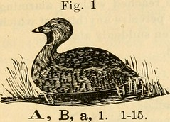 """Image from page 29 of """"Directory to the birds of Eastern North America .."""" (1918)"""