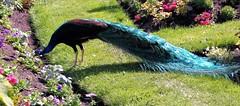 Peacock in the garden (joybidge) Tags: peacock victoriabc naturepatternscanada trishcanada tsjune292014