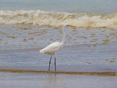 Great Egret (Oleg Chernyshov) Tags: greategret casmerodiusalbus ardeaalbaegretta большаябелаяцапля